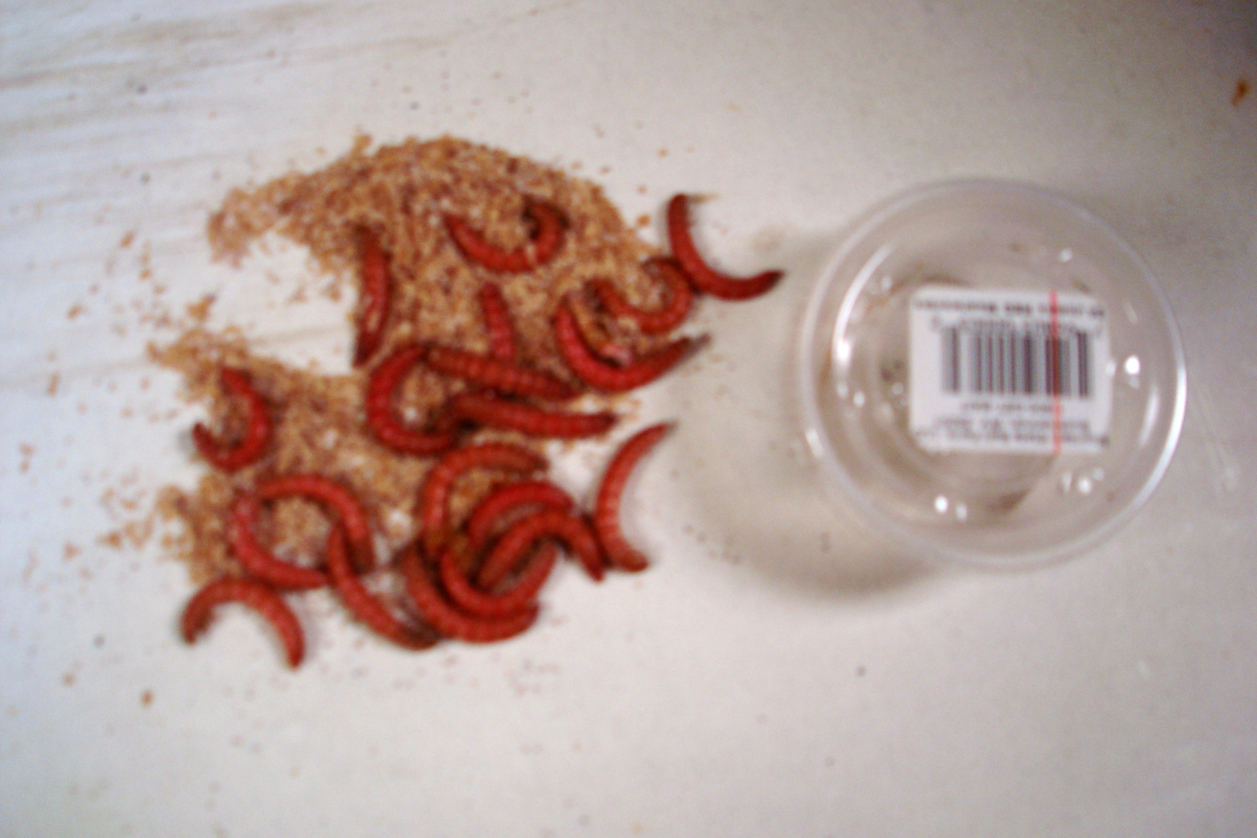 Jumbo red mealworms wholesale live bait for Mealworms for fishing